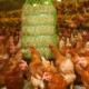 Hartog Compact Luzerne voor pluimvee is veilig en schoon