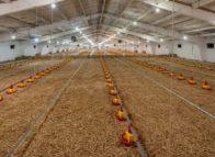 Huisvesting pluimvee: economie, ecologie en ethiek