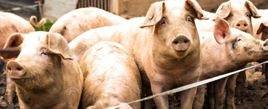 5 indicatoren voor goed stalklimaat in varkensstallen