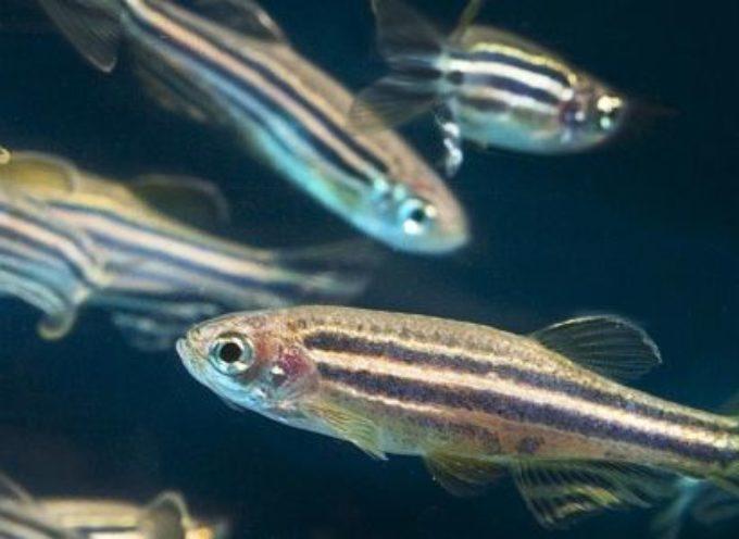 Het imiteren van vissen met robotreplica's