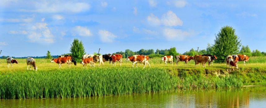 Hittestress bij melkvee, (klimaat)probleem van morgen?
